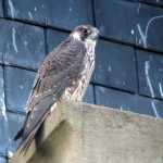 Le faucon pèlerin à Illkirch-Graffenstaden