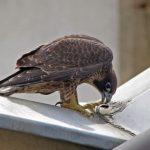 Premier envol du jeune faucon pèlerin - 21 juin 2016