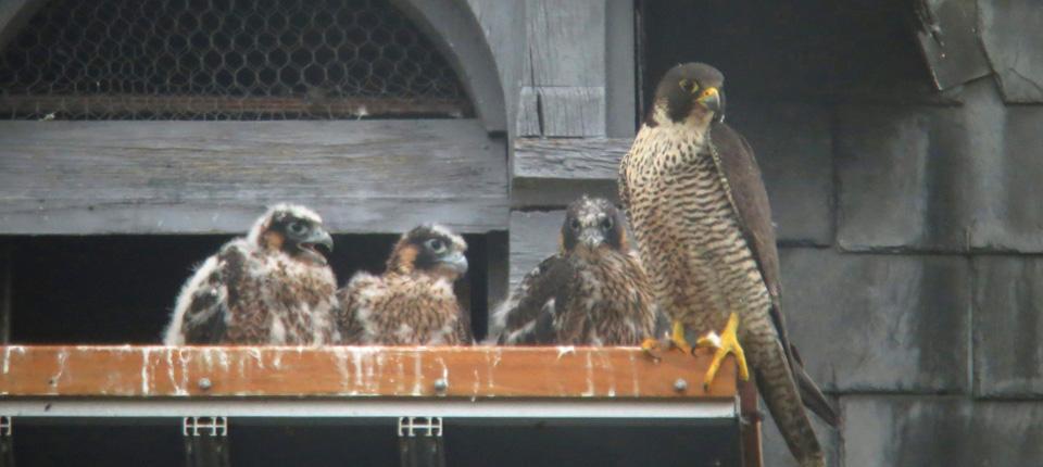 Les faucons pèlerins à Illkirch-Graffenstaden en 2016