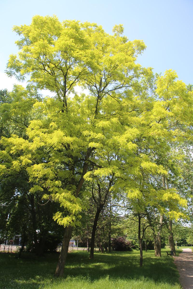 Arble remarquable à Illkirch : Faux acacia doré