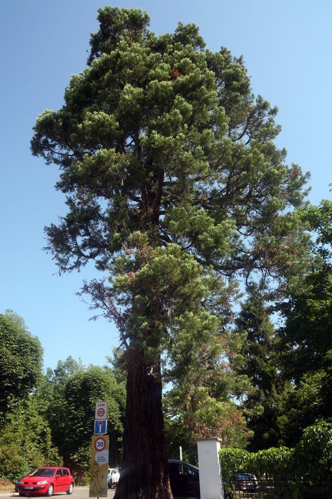 Arbre remarquable : le séquoia géant à Illkirch-Graffenstaden